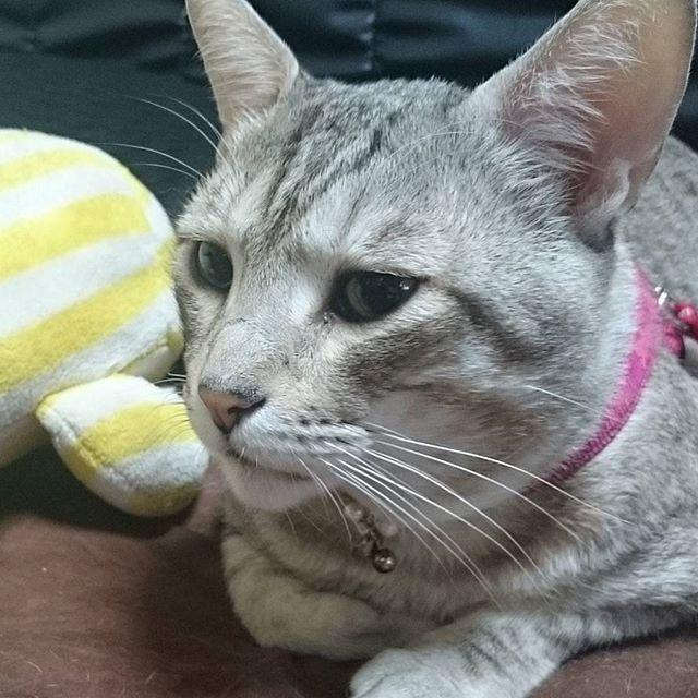#ねこ部 #きじ猫 #ねこ #ペコねこ部 #cat #catstagram - from Instagram