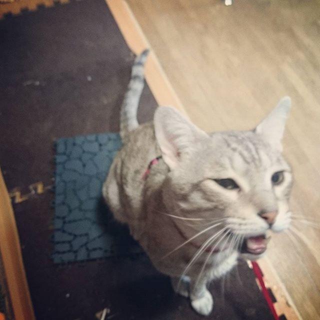 また食うの? #ねこ部 #ネコ #cat #キジネコ#ねこ好き - from Instagram