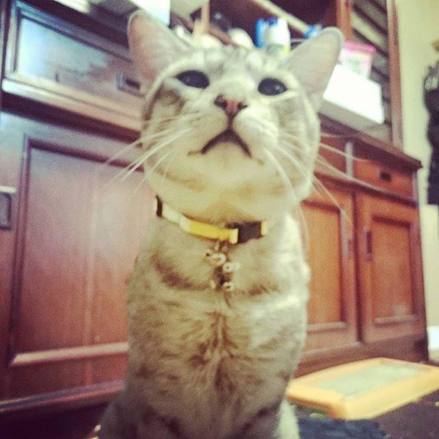ゴールド首輪を買ってみた  金運よくなるかな  #ねこ部 #ねこ #きじ猫 #ペコねこ部 #cat #catstagram - from Instagram