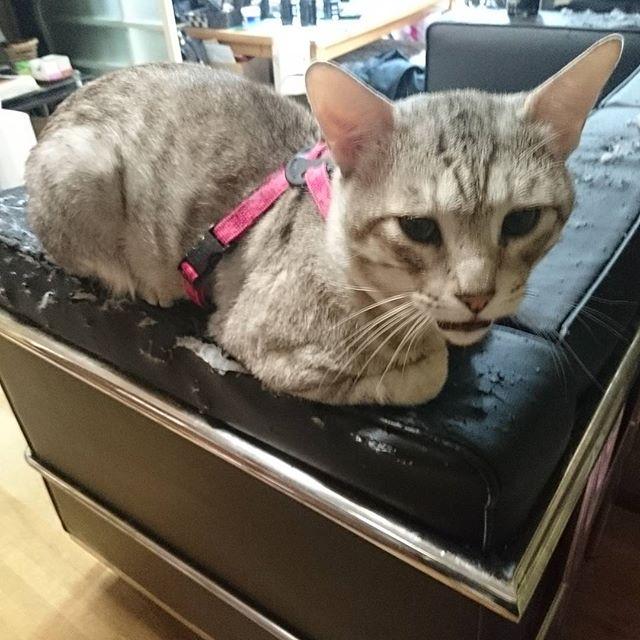 #ねこ部 #ねこ #きじ猫 #cat #catoftheday #ねこ好き - from Instagram
