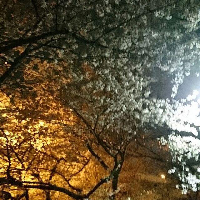 桧原桜見てきました。ギリギリセーフ、散ってなかった - from Instagram