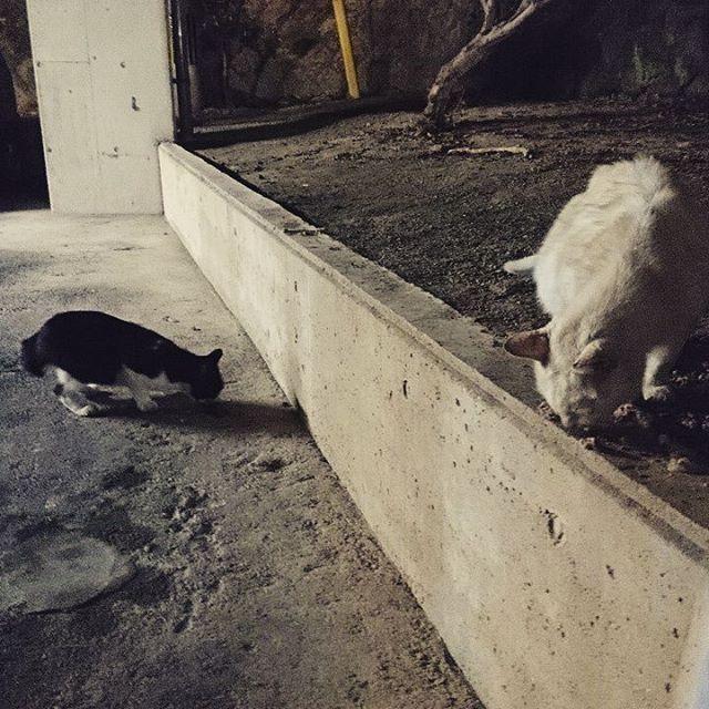 うちの駐車場の先住民  自分がここに住んで8年なるから、もう相当ばあさん猫のシロ!(白い方♀) 向こうの去年くらいに生まれたやつ。  あとその兄弟のクロがいるが、今日は遠征中。シロは半年くらい行方不明だったけど最近戻ってきました。みんな呼んだら返事してついてきます。#ねこ部 #ねこ #cat #catstagram - from Instagram