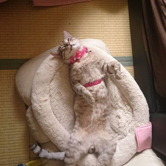 昼寝 完全無防備 #ねこ部 #ねこ #ねこすたぐらむ #cat #catstagram  #きじねこ - from Instagram