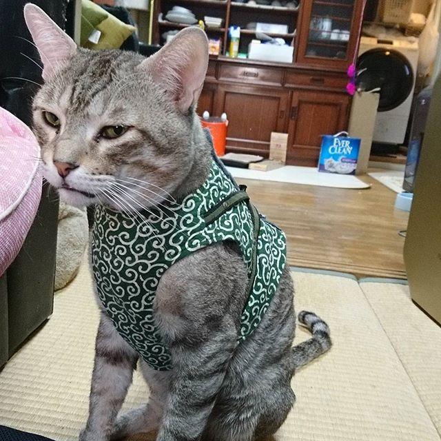 わるいやつ  #ねこ部 #ねこ #きじねこ #cat #catstagram - from Instagram